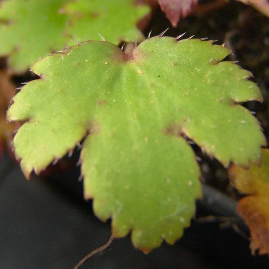 cortusifolia var. obtusocuneata Mt. Nachi Rosa JP-261