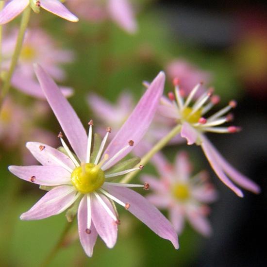 cortusifolia var. obtusocuneata Mt. Nachi Rosa JP-0