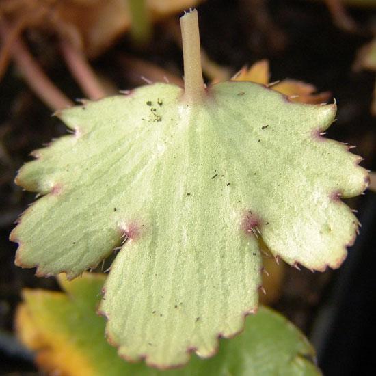 cortusifolia var. obtusocuneata Mt. Nachi Rot JP-265