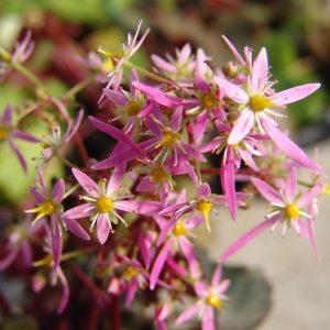 cortusifolia var. obtusocuneata Mt. Nachi Rot JP-0