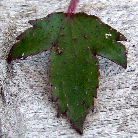 cortusifolia var. obtusocuneata Pink Cloud-267