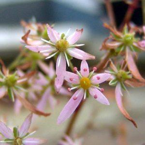 cortusifolia var. obtusocuneata Pink Cloud-0