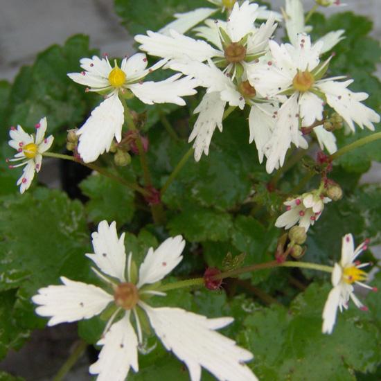 cortusifolia x obtusocuneata White Fantasie JP-279