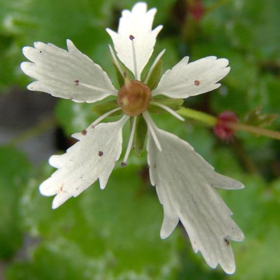 cortusifolia x obtusocuneata White Fantasie JP-280