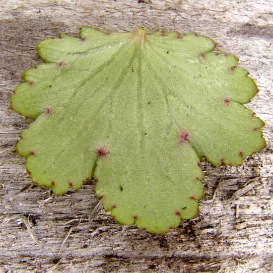 cortusifolia x obtusocuneata White Fantasie JP-282