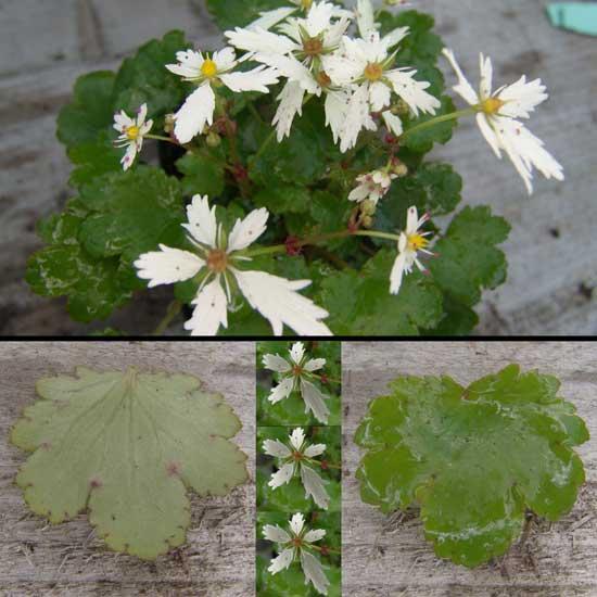 cortusifolia x obtusocuneata White Fantasie JP-0