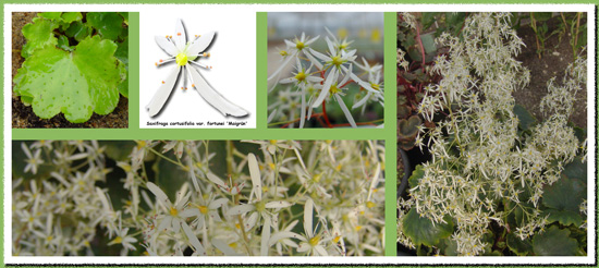 cortusifolia var. fortunei Maigrün-236
