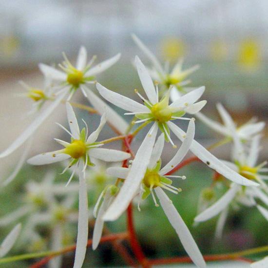 cortusifolia var. fortunei Maigrün-238