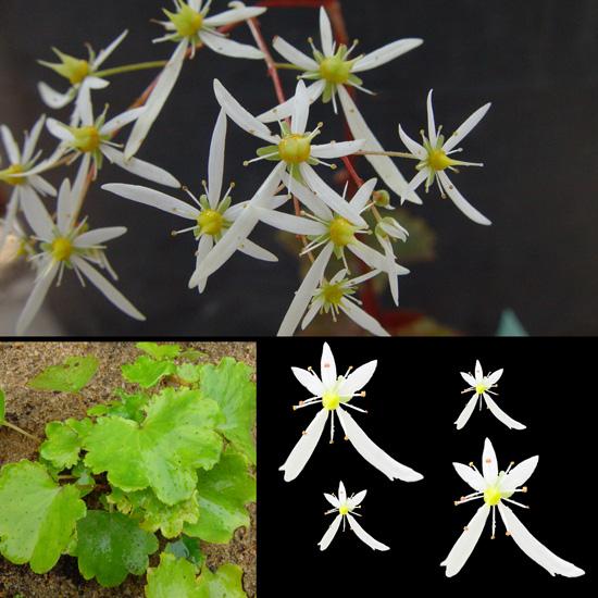 cortusifolia var. fortunei Maigrün-0