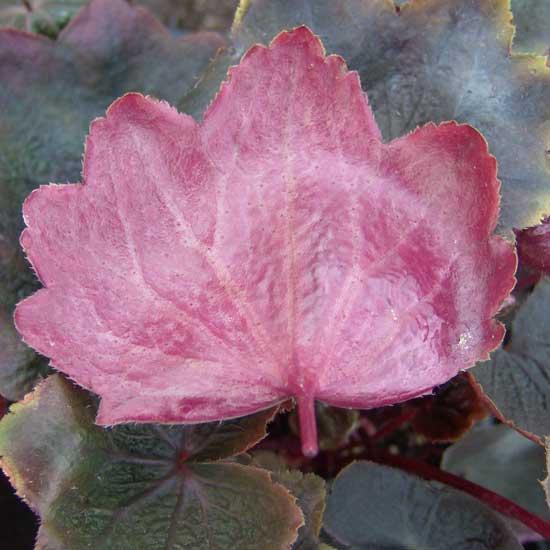 cortusifolia var. fortunei Rubrifolia-304