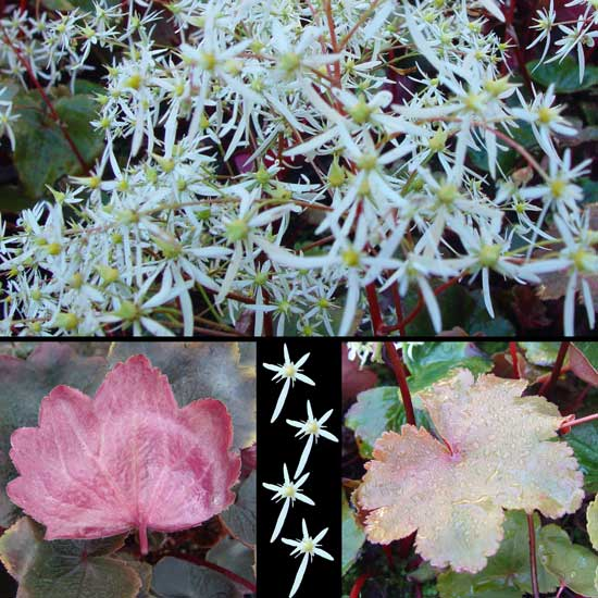 cortusifolia var. fortunei Rubrifolia-0