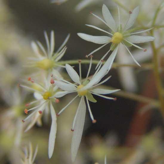 cortusifolia var. fortunei Sternenschleier JP-242