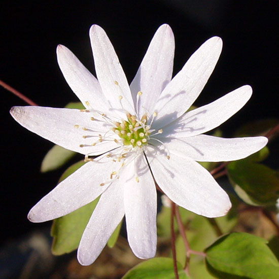 thalictroides ECO Stary Night-0