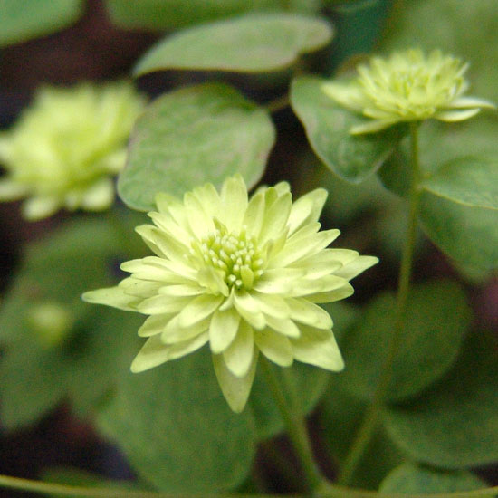 thalictroides Green Double-955