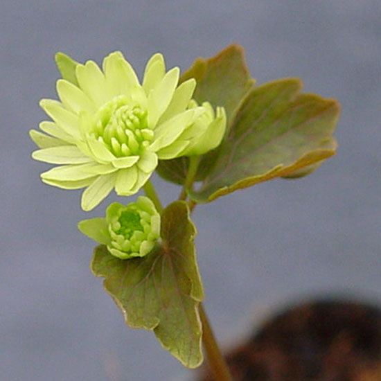 thalictroides Green Double-0