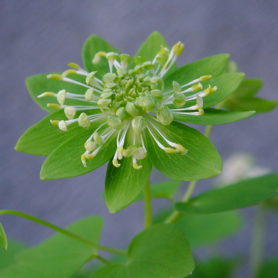 thalictroides Green Hurricane-948
