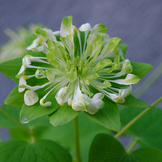 thalictroides Green Hurricane-0