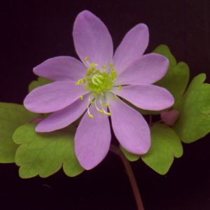 thalictroides Pink Singel-0