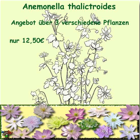 Angebot thalictroides -0