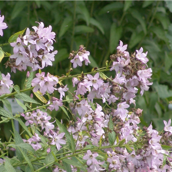 lactiflora ' Loddon Anne '-2941