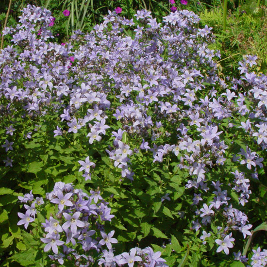 lactiflora ' Prichard '-2934