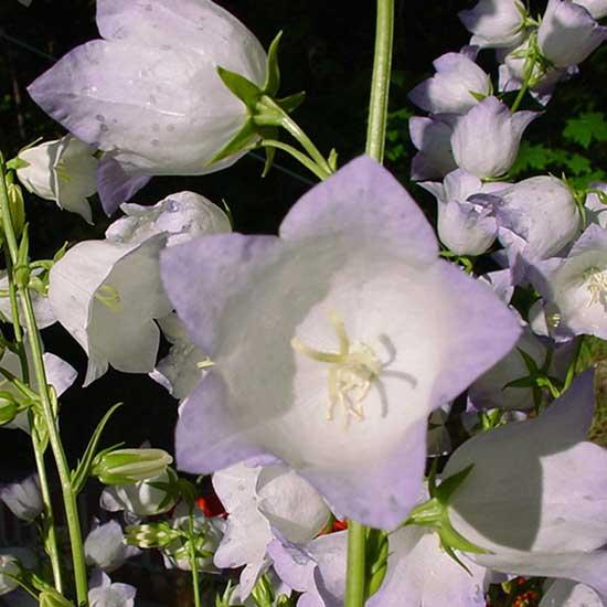 persicifolia ' Chettle Charm ' -0