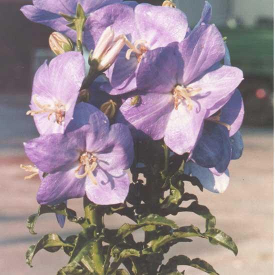 persicifolia f. nitida-0