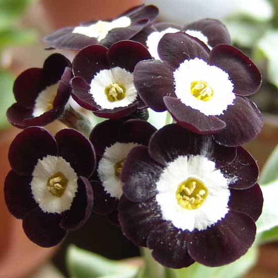 x auricula Douglas Black-1801