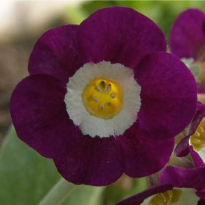 x auricula Eventide-0