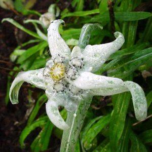 alpinum ssp. parmiricum-0