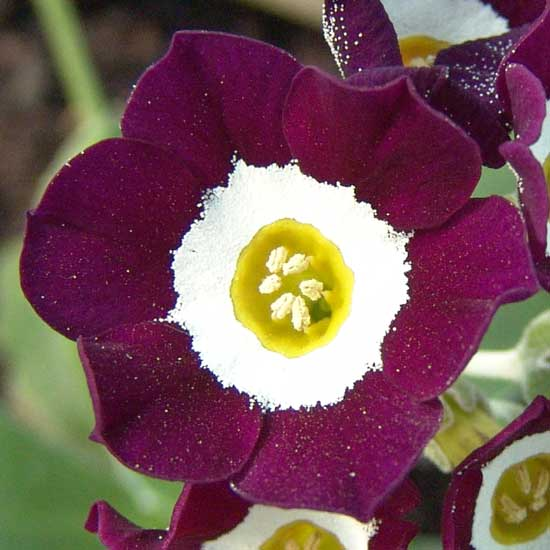 x auricula Martin Luther King-0