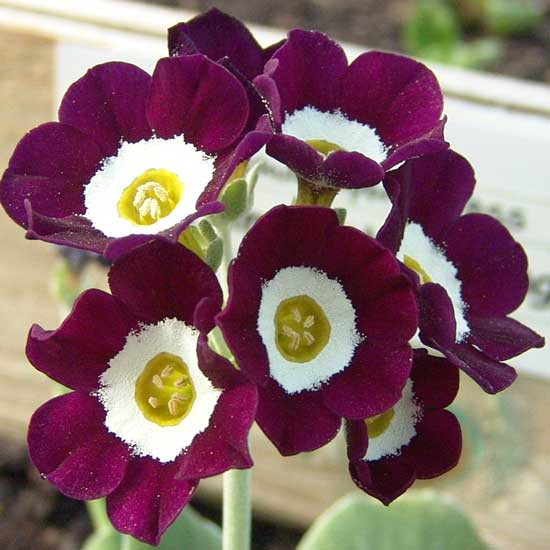 x auricula Martin Luther King-1830