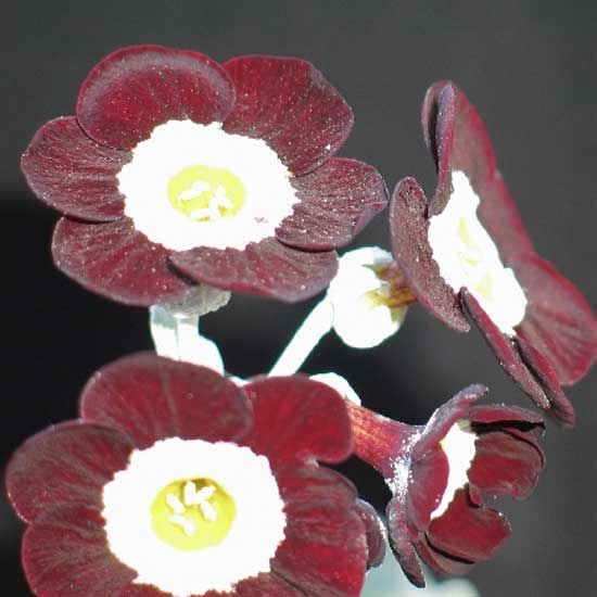 x auricula Neat and Tidy-0