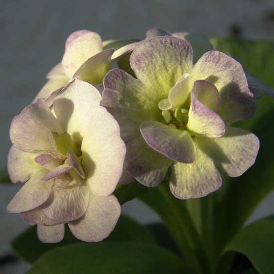 x auricula Barnhaven Creme-Violett-2187