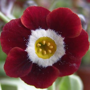 x auricula Dales Red-0