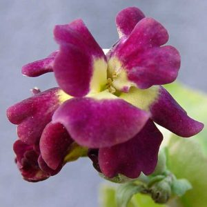 x auricula Early Sunrise-0