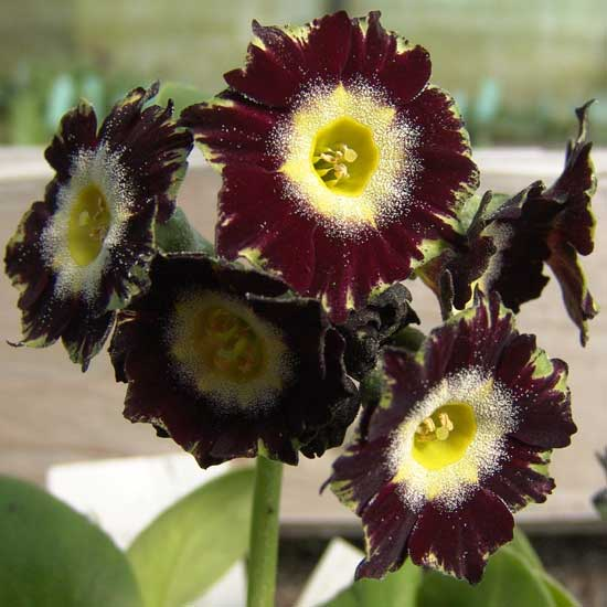 x auricula ' Florence Brown '-2034