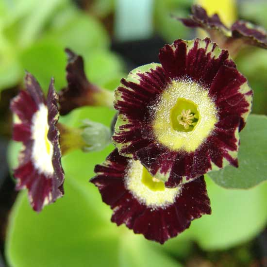 x auricula ' Florence Brown '-2035