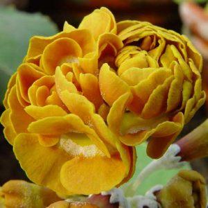 x auricula Golden Splendour-0