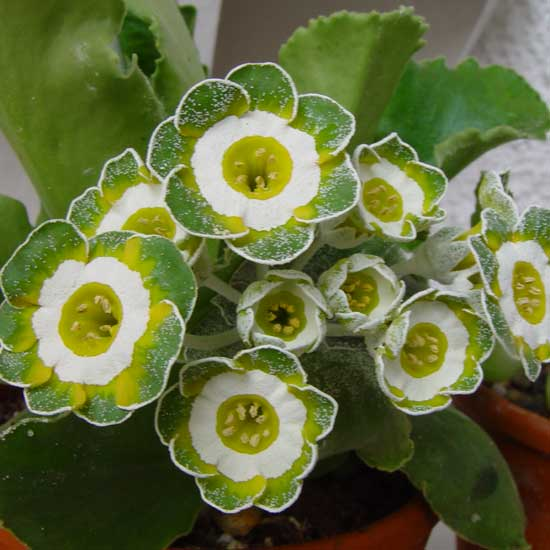 x auricula ' Hinton Fields '-2100
