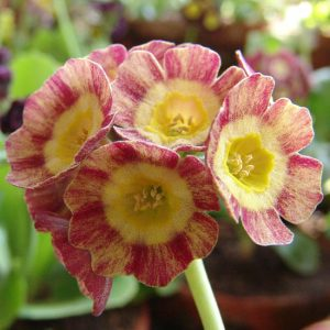 x auricula ' Optimist '-0