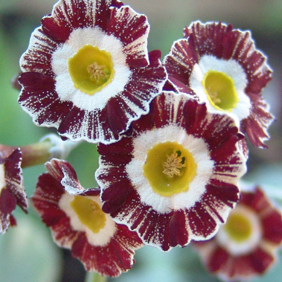 x auricula ' Red and White Stripe '-0