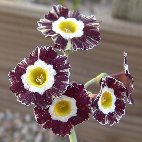 x auricula ' Red and White Stripe '-1432