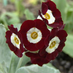 x auricula Red Gauntlet-0