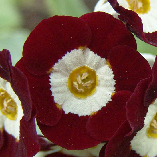 x auricula Red Gauntlet-1046