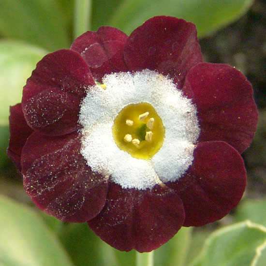x auricula Red Seedling-0