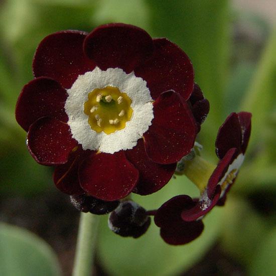 x auricula Rosemary-1054