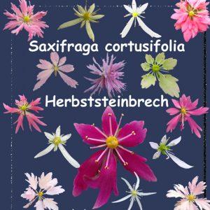 Cortusifolia-Angebot-0