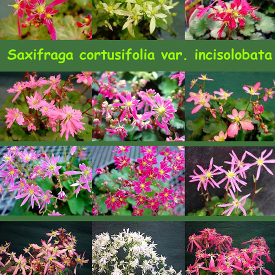 Cortusifolia-Angebot-1549