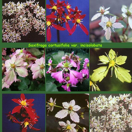 Cortusifolia-Angebot-1550